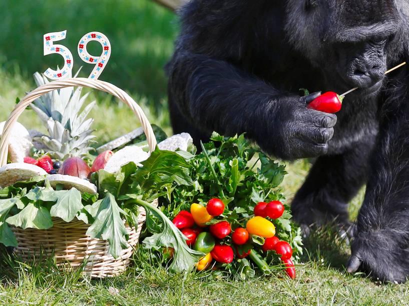 Fatou, o segundo gorila mais velho do mundo, come frutas da sua cesta de aniversário. Hoje ele completa 59 anos