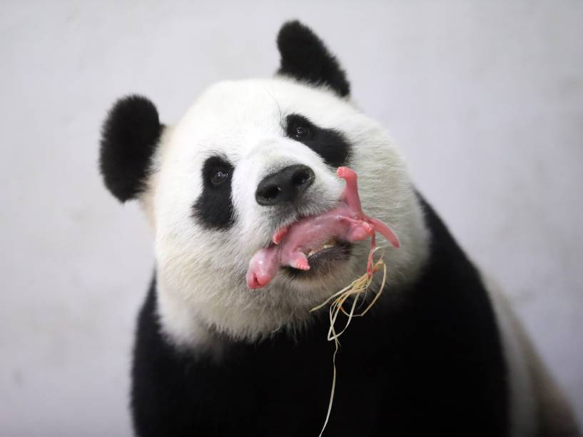 Imagem divulgada pelo zoológico Pairi Daiza em Brugelette na Bélgica mostra a mamãe panda Hao Hao segurando seu filhote recém nascido na boca - 02/06/2016