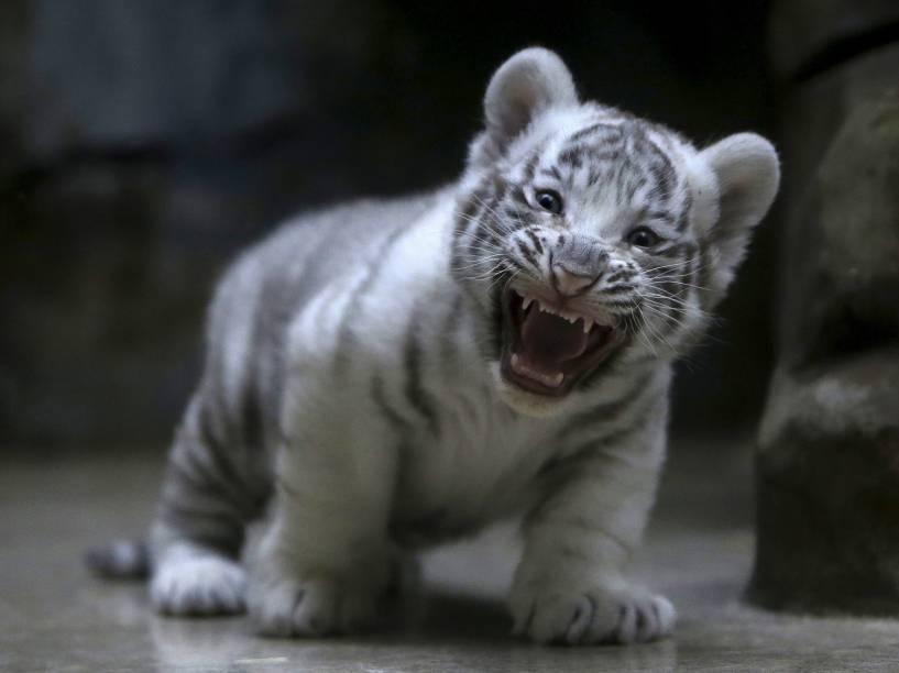 Filhote de tigre branco indiano recém-nascido boceja em seu gabinete no zoológico de Liberec, na República Checa - 25/04/2016
