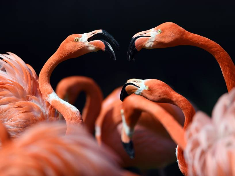 Flamingos fotografados durante banho de sol no zoológico de Colônia, na Alemanha - 04/05/2016