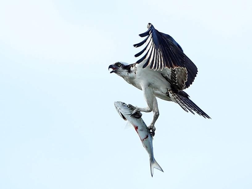 Fotógrafo registra momento em que gavião agarra sua presa e levanta voo novamente - 13/05/2016