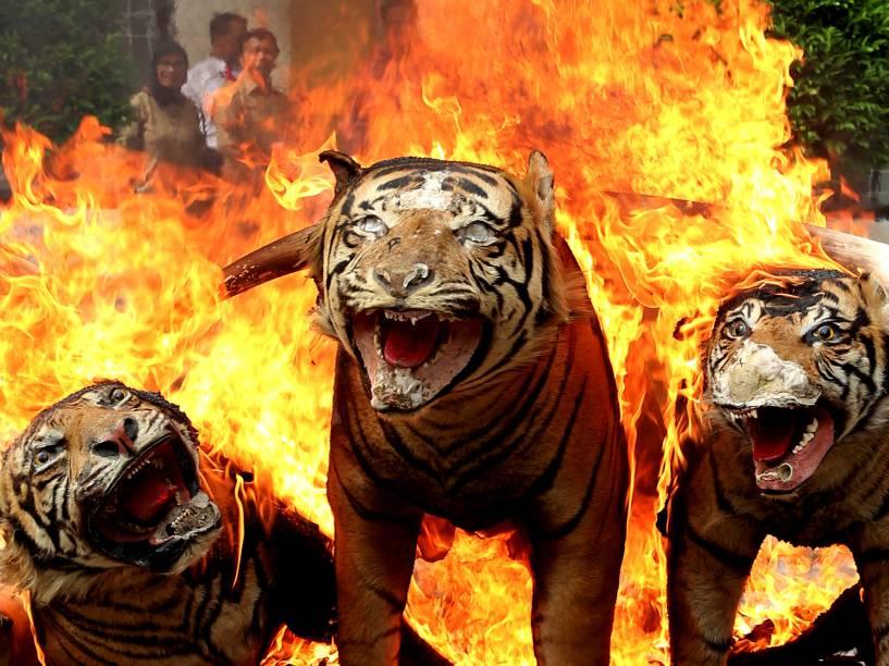Artigos raros e ilegais de animais selvagens são confiscados e queimados pela polícia ambiental na Indonésia. Na foto, o fogo atinge três tigres da Sumatra empalhados - 23/05/2016