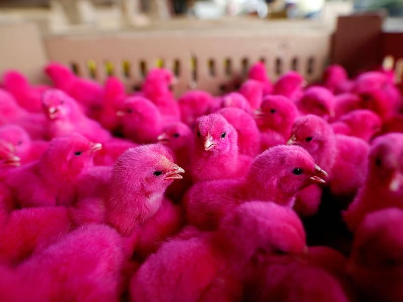 Pintinhos tingidos são expostos para venda em um mercado de pequenas aves em Jacarta, Indonésia - 18/05/2016