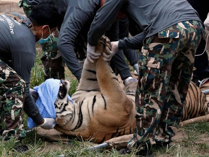 Tigre sedado é retirado por funcionários do governo do templo budista conhecido como Templo do Tigre na província tailandesa de Kanchanaburi, um popular destino turístico, após denúncias de maus tratos dos animais serem divulgadas - 30/05/2016