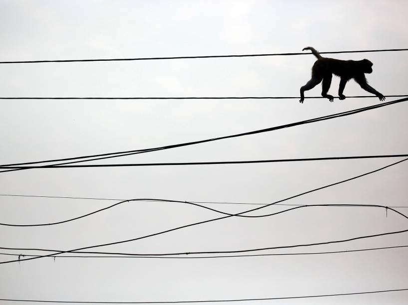 Macaco caminha em fios de eletricidade, acima de movimentado mercado na capital da India, Nova Délhi