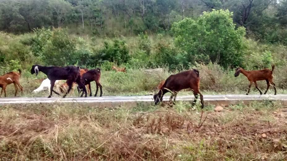 Animais na estrada escuracada PI-115, que liga Castelo do Piauí a Campo Maior e Teresina