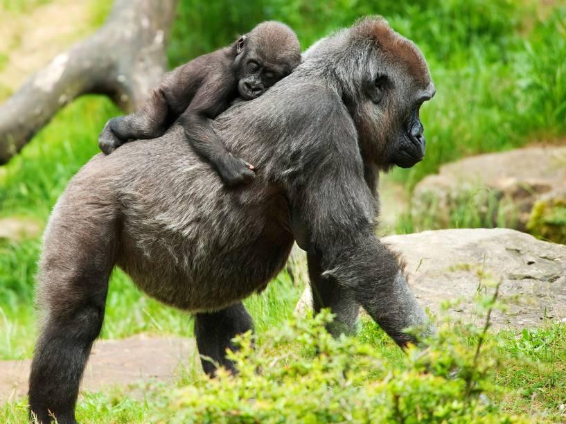 Gorilas-de-montanha