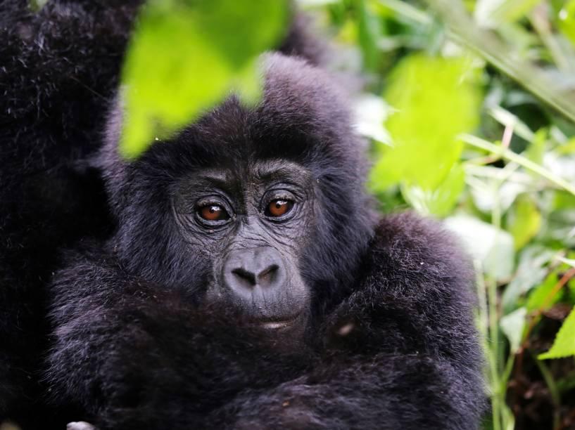 Gorila-de-montanha