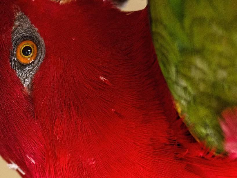 O parque aviário de Kuala Lumpur, além de ser o maior do mundo, permite que os visitantes caminhem por toda a extensão sem supervisão enquanto pássaros, como o Papagaio tagarela da foto, voem livremente
