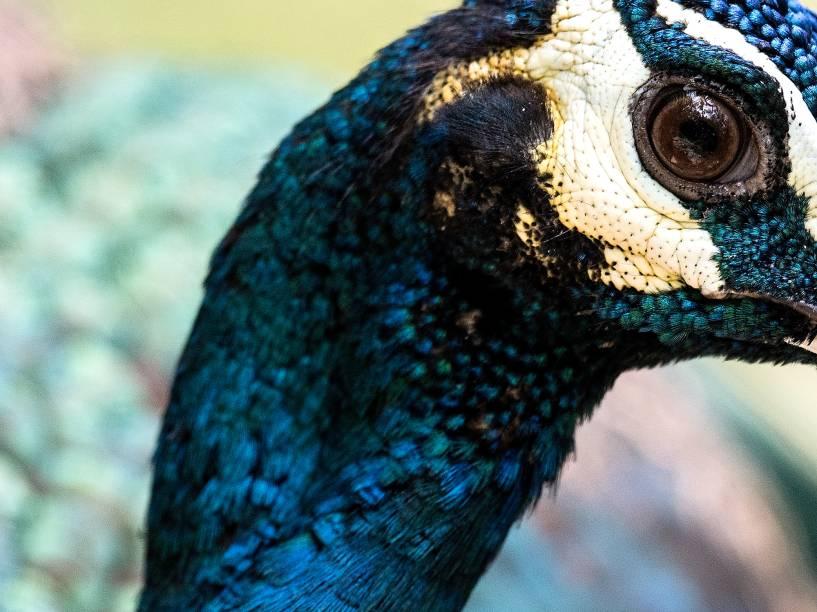 Pavão-verde é uma das espécies de aves que voam livremente pelo maior parque aviário do mundo, em Kuala Lumpur