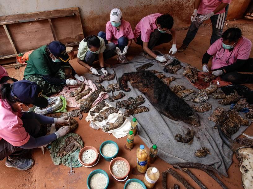 Oficiais coletam amostras para testes de DNA a partir das carcaças de 40 filhotes de tigre e um Binturong (também conhecido como um bearcat) encontrarados em um templo budista, na província de Kanchanaburi, Tailândia - 01/06/2016