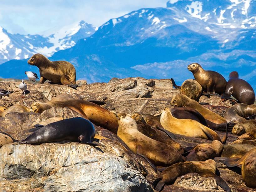 Um grupo de leões-marinhos reunido na Ilha Alicia, conhecida como Ilha dos Lobos, no Canal de Beagle na região de Ushuaia - a cidade do fim do mundo