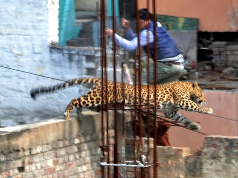 Um leopardo causou pânico ao andar entre casas na cidade de Meerut, na Índia