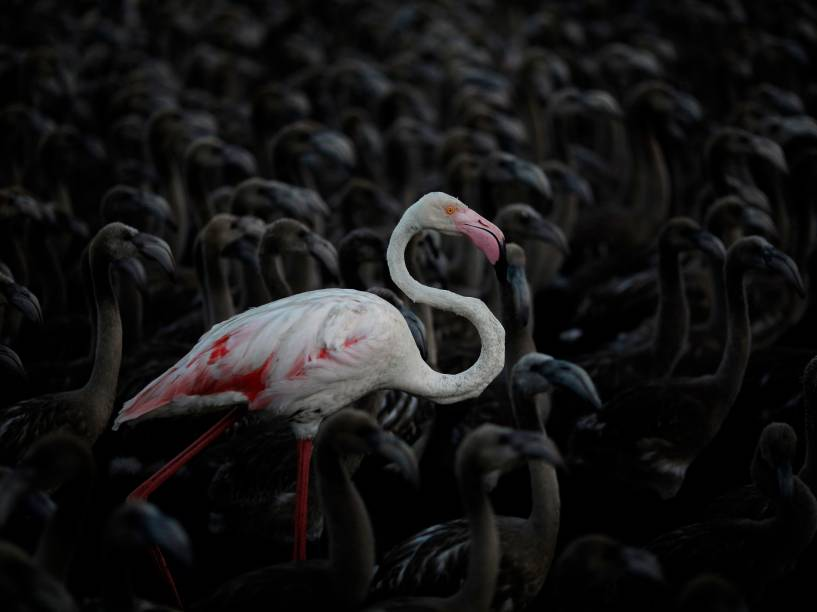 Flamingo adulto entre filhotes na reserva natural Fuente de Piedra, perto de Málaga, sul da Espanha