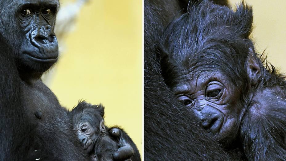Bebê gorila descansa nos braços de sua mãe Moja, no Parque Natural de Carbáceno, na Cantábria, Espanha