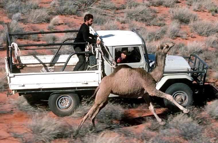 Os camelos e dromedários se espalharam pelo país e estão competindo com o gado por comida, além de invadirem casas e fazendas em busca de água.