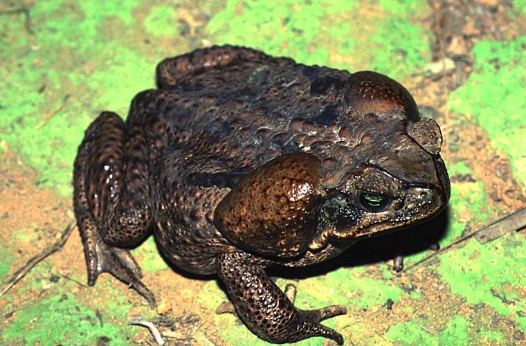 Originários da América do Sul, os sapos-cururus (Bufo Marinus), com a cabeça salpicada de veneno, provocaram o desaparecimento de mais da metade dos crocodilos da Austrália.