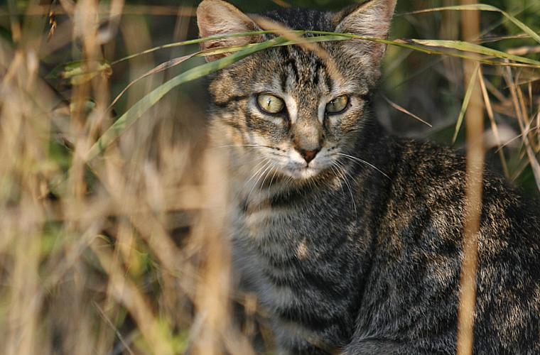 Os gatos selvagens, que teriam chegado ao país com europeus no século XVIII, caçam espécies nativas da região, como pássaros e mamíferos de menor porte, além de transmitirem doenças para os outros animais, como toxoplasmose.