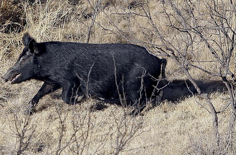 Os porcos selvagens ocupam cerca de 40% do território continental da Austrália. É o segundo animal mais prejudicial para as indústrias agrícolas.