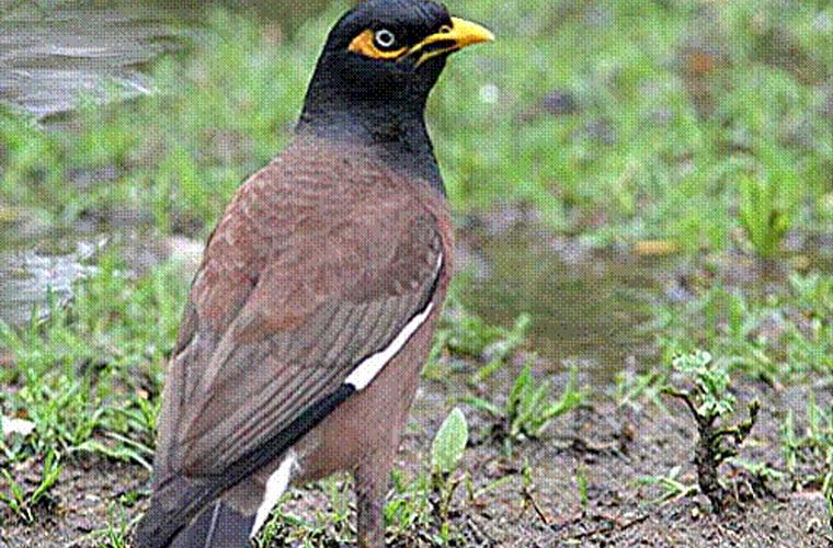 Cerca de 100 espécies de pássaros causam danos às plantações e ao cultivo de frutas, como a espécie Indian Myna.