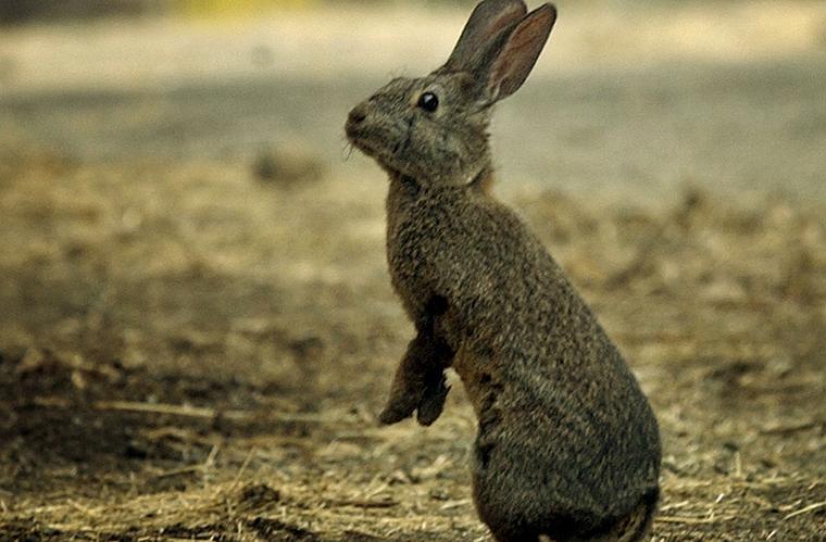 Os coelhos são os animais selvagens que mais prejudicam a economia australiana. Anualmente, ele causam prejuízos de cerca de 200 milhões de dólares.