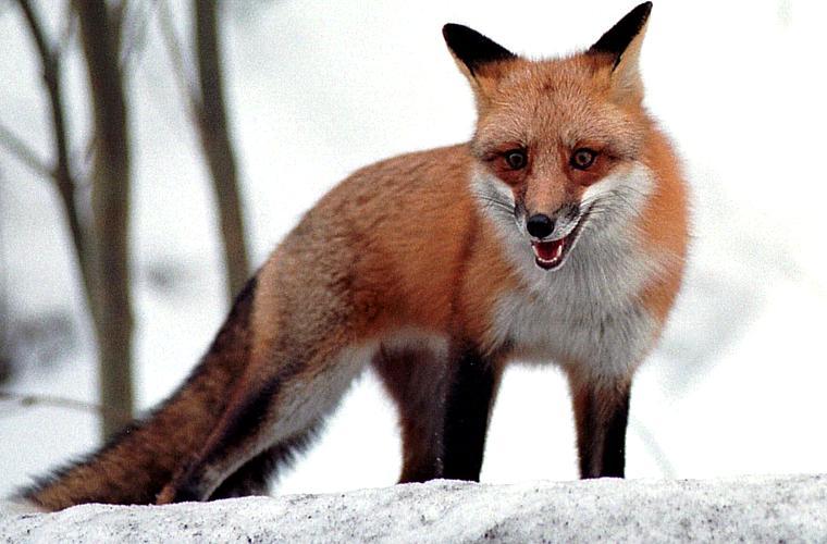 A raposa vermelha, originária da Europa, é o maior predador da Austrália.