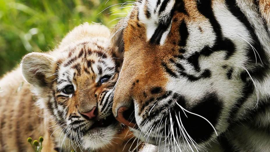Filhote de tigre-siberiano brinca com sua mãe no zoológico de vida selvagem de St-Felicien, no Canadá