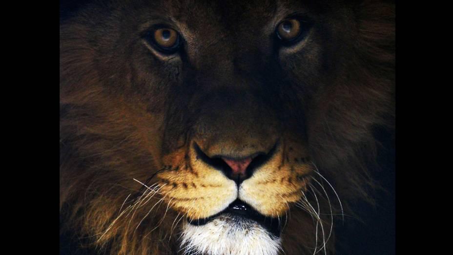 Leão Ivan de 4 anos, encontrado em um zoológico privado em Novi Pazar, Sérvia