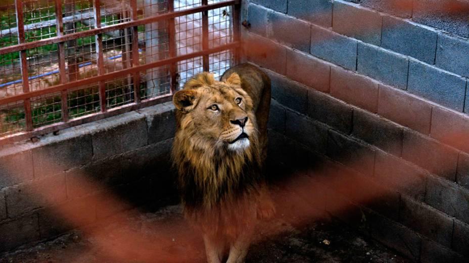 Três leões Ivan, Cornel e Lepa foram adquiridos do Jardim Zoológico de Belgrado por um particular em 2009, antes que a legislação sérvia que proíbe a posse de animais selvagens perigosos entrasse em vigor
