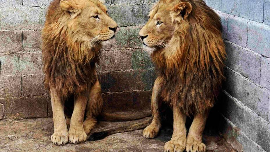 Ivan e Cornel, leões encontrados em um zoológico particular na cidade de Novi Pazar, Sérvia. No país, desde 2010 entrou em vigor legislação proíbe a posse de animais selvagens perigosos