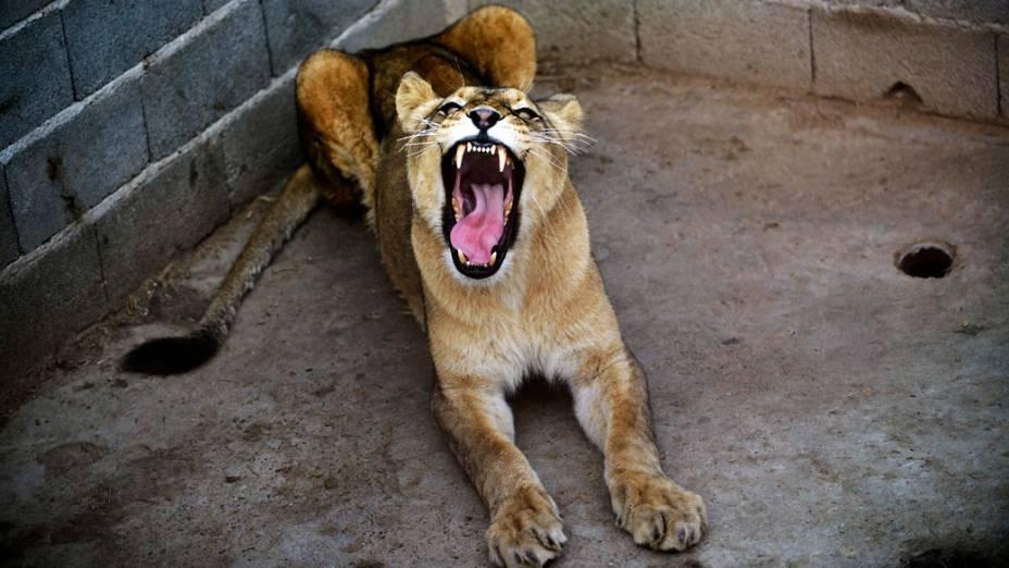 Lepa, uma leoa de 3 anos de idade, boceja dentro de seu recinto em um zoológico particular em Novi Pazar, Sérvia
