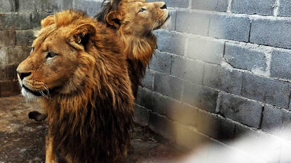 Os leões foram confiscados pelas autoridades sérvias e resgatados pela ONG Four Paws Animal Welfare Foundation