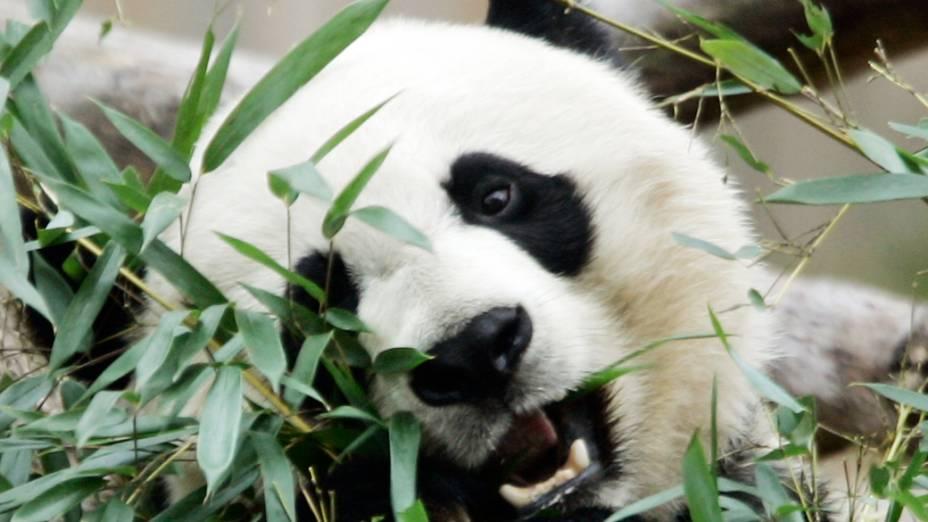 Panda gigante Mei Xiang apresentou sintomas de gravidez psicológica em 5 oportunidades desde 2005