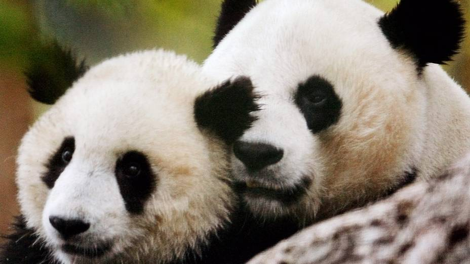 Mei Xiang ao lado de Tai Shan, seu primeiro filhote, nascido em 2005 e que atualmente está em um zoológico na China