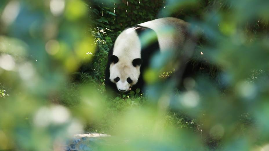O filhote de Mei Xiang, foi gerado a partir de um tratamento de inseminação artificial com o esperma congelado de Tian Tian, o outro panda do zoológico