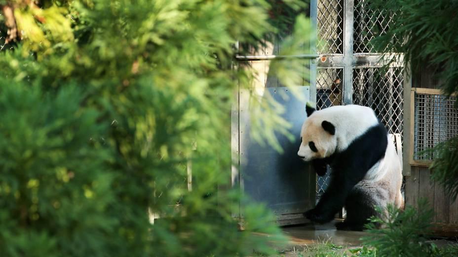 Tian Tian, panda gigante macho no Smithsonian National Zoological Park, em Washington, se movimenta em seu recinto no dia seguinte à morte do filhote de seis dias de idade