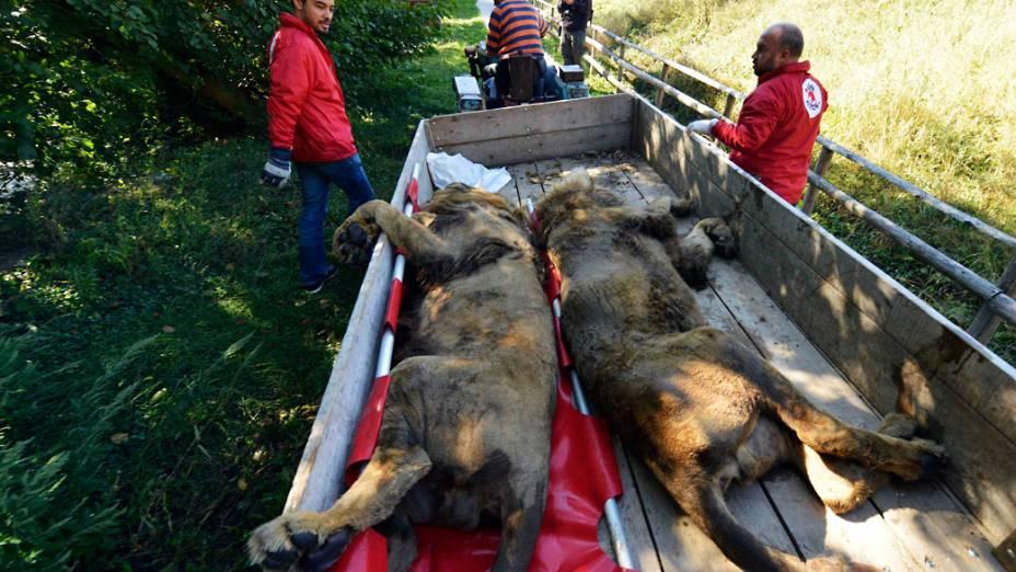 Os animais foram sedados e retirados do zoológico em caminhões. O destino final é o santuário ecológico Lionsrock, na África do Sul