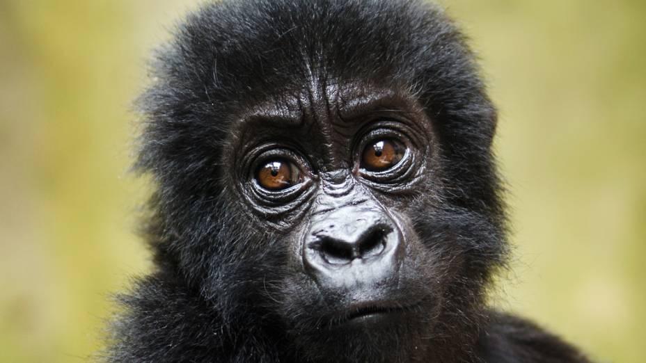 O gorila-de-grauer é uma espécie só encontrada no leste da República Democrática do Congo