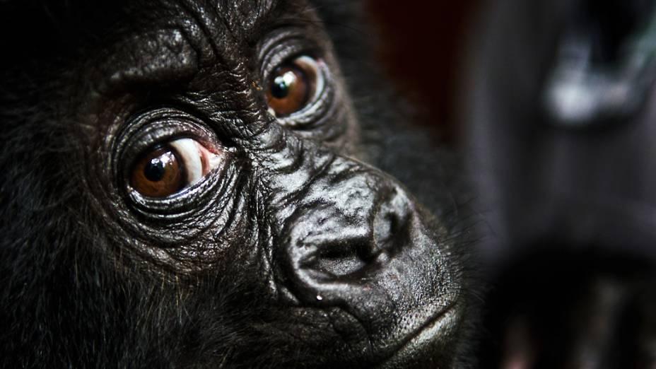 Isangi, bebê gorila orfão, de 9 meses, resgatado por funcionários do Parque Nacional de Virunga na República Democrática do Congo