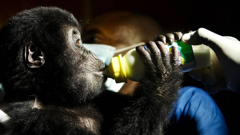 Os gorilas-de-grauer sofrem sério risco de extinção devido ao significativo aumento da caça furtiva