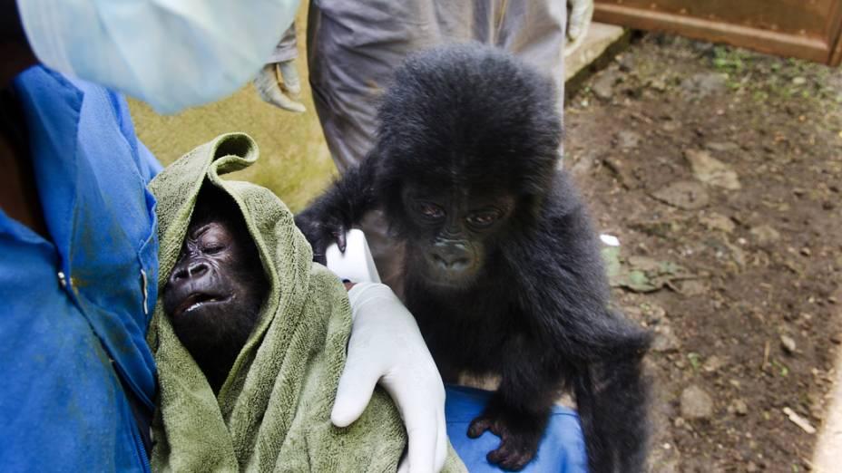Os bebês gorilas Baraka e Isangi, provavelmente foram abandonados por traficantes o que também indica que seus pais podem ter sido mortos tentando defendê-los