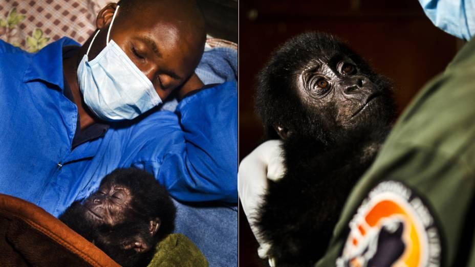 Estima-se que atualmente, existam menos de quatro mil exemplares dos gorilas-de-grauer na florestas da República Democrática do Congo, em comparação com a população de 17.000 em 1995