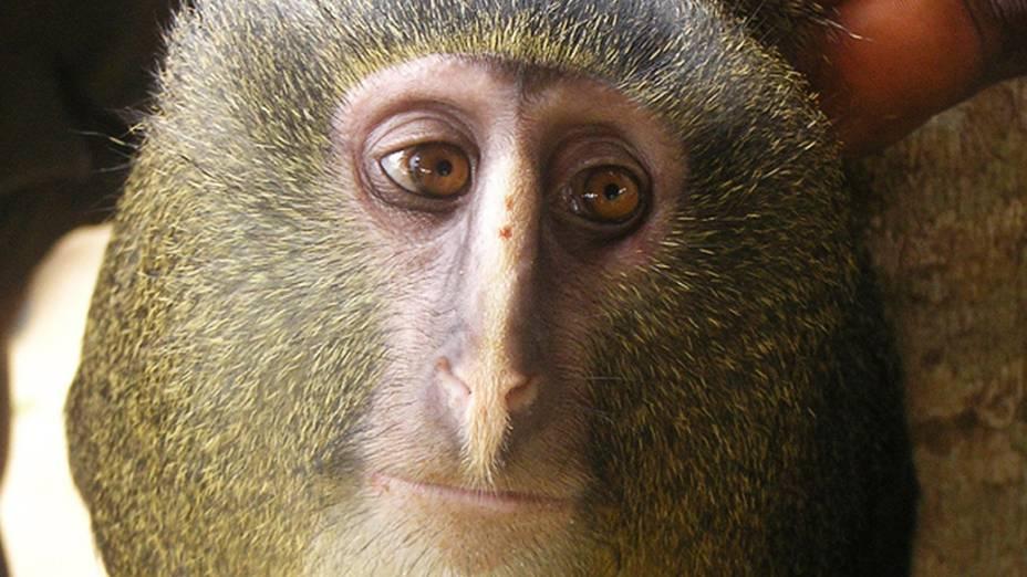 O macaco conhecido localmente como lesula (Cercopithecus lomamiensis) representa apenas a segunda nova espécie de um primata africano descoberta em 28 anos