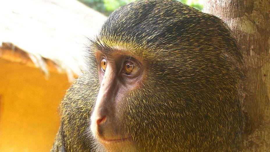 A nova espécie foi descoberta em 2007 e confirmada em uma publicação de 2012 da revista científica Plos One. Os cientistas consideraram o Cercopithecus lomamiensis como um animal tímido
