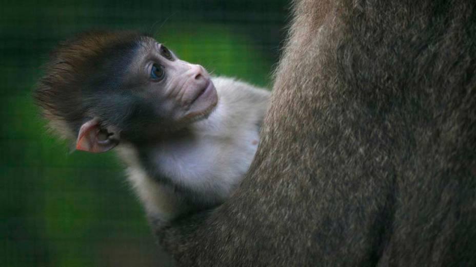 Filhote de macaco da espécie drill em zoológico de Edimburgo, Grã-Bretanha