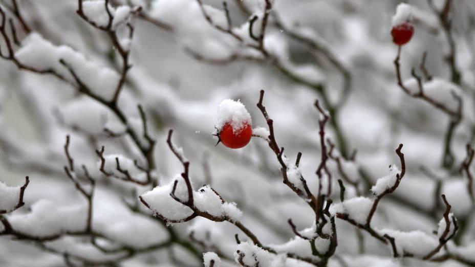 Frutos resistem à neve em árvore de Heidelberg, Alemanha