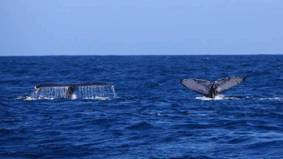 Em foto divulgada hoje, duas baleias mergulham na Baía de Samaná, República Dominicana