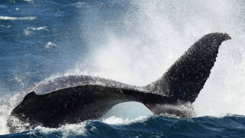 Em Sydney, baleia jubarte é vista durante a temporada de observação de baleias. Nessa época, os animais marinhos migram da região sul para norte, em busca de águas mais quentes