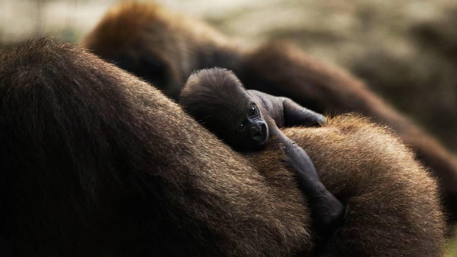 Bebê gorila com apenas quatro dias de vida é flagrado com a mãe no safári Ramat Gan, perto de Tel Aviv, Israel