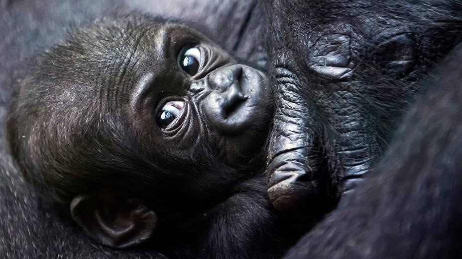 O bebê gorila Mawimbi descansa no colo da mãe, Mamitu, no zoológico de Zurique, na Suíça